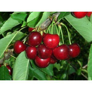 'Germersdorfi' cseresznye - Extra méretű koros cseresznye