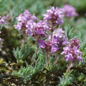 Thymus serpyllum - Mezei kakukkfű
