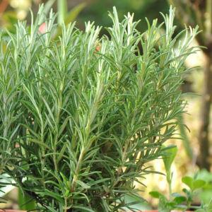 Rosmarinus officinalis - Rozmaring