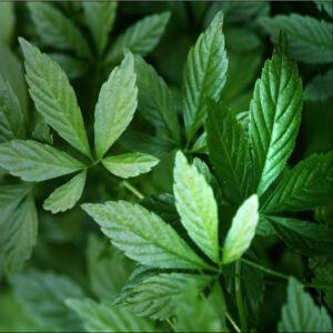 """Gynostemma pentaphyllum – """"Halhatatlanság növénye"""" - Ötujjas gin zeng"""