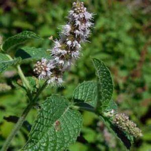 Mentha x rotundifolia – Egyiptomi menta