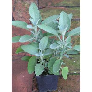 Salvia officinalis 'Berggarten' - Kövér orvosi zsálya