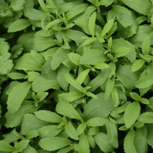 Stevia – Édeslevél