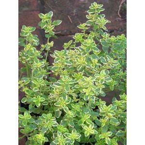 Thymus citriodorus 'Bertram Anderson' - Aranytarka citromillatú kakukkfű