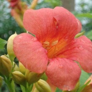 Campsis radicans 'Dancing Flame' - Trombitafolyondár (narancs-piros)