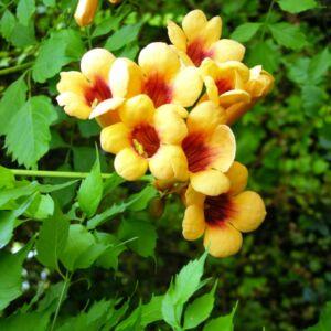 Campsis radicans 'Judy' - Trombitafolyondár (sárga, narancs torokkal)