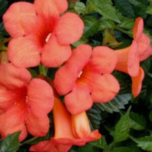 Campsis tagliabuana 'Madame Galen' - Trombitafolyondár (sötétnarancs, óriás virág)