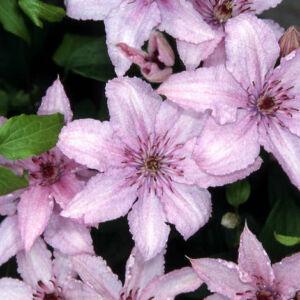 Clematis 'Hagley Hybrid' - Iszalag (világos rózsaszín)