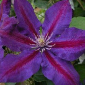 Clematis 'Julka' - Iszalag (nagy, sötétlila virágú, bíbor csíkokkal)