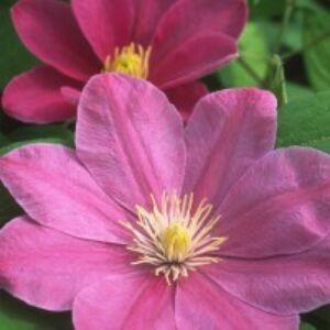 Clematis 'Monika' - Iszalag (rózsaszín nagyvirágú)