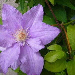 Clematis 'Regina' - Iszalag (halványlila, nagyvirágú)