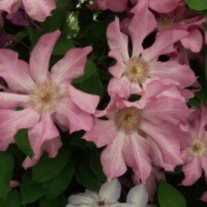 Clematis 'Rooran' - Iszalag (rózsaszín, nagyvirágú halvány csíkkal)