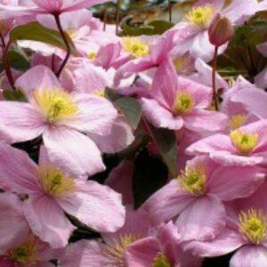 Clematis montana 'Rubens' - Iszalag (rózsaszín, illatos)