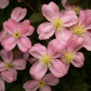 Clematis montana 'Tetrarose' - Iszalag (rózsaszín, illatos)
