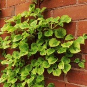 Hydrangea anomala subsp. petiolaris 'Miranda' - Kúszó hortenzia