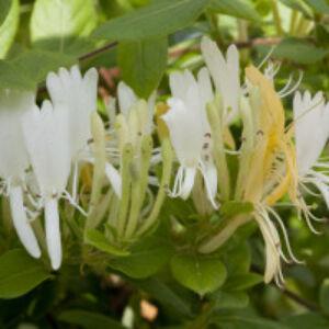 Lonicera japonica var. 'Halliana' - Japán futólonc