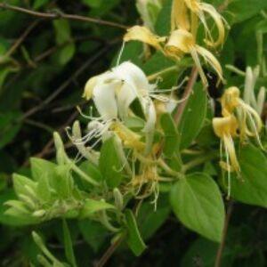 Lonicera japonica 'Hall's Prolific' - Japán futólonc