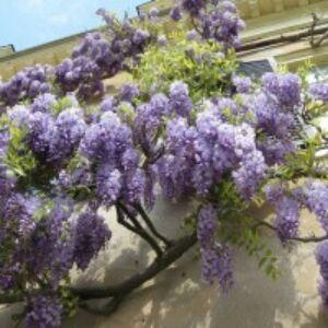 Wisteria floribunda 'Eranthema' - Lilaakác (illatos, világoslila)Wisteria floribunda 'Eranthema' - Lilaakác (világoslila)