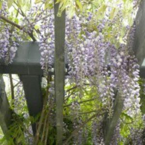 Wisteria floribunda 'Issai' - Lilaakác (halványlila virágú)