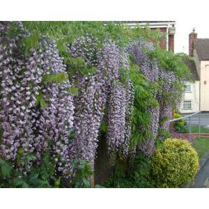 Wisteria floribunda 'Cascade' - Lilaakác (lilásrózsaszín virágú, fehér sziromszéllel)