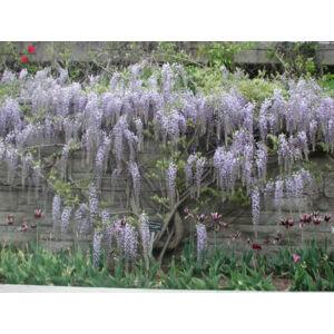 Wisteria floribunda 'Lawrence' - Lilaakác (liláskék-fehér)