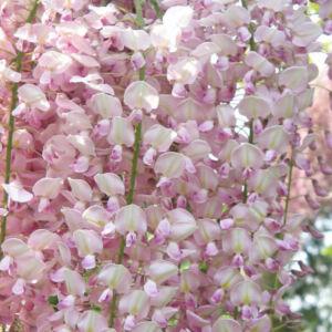 Wisteria floribunda 'Lipstick' - Lilaakác (fehér virágú, rózsaszín sziromszéllel)