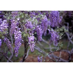 Wisteria sinensis 'Prolific' - Lilaakác (kékeslila)