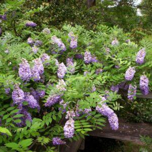 Wisteria sinensis 'Ametisth' - Lilaakác (sötétbíbor)