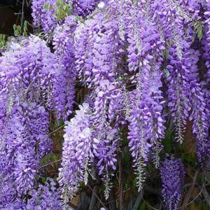 Wisteria sinensis 'Blue Sapphire' - Lilaakác (liláskék)