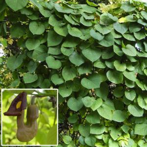 Aristolochia macrophylla – Pipavirágú farkasalma
