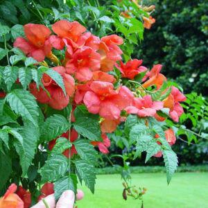 Campsis radicans 'Grandiflora' – Élénk narancs-piros virágú trombitafolyondár