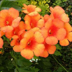 Campsis radicans 'Orange Dream' – Narancssárga virágú trombitafolyondár