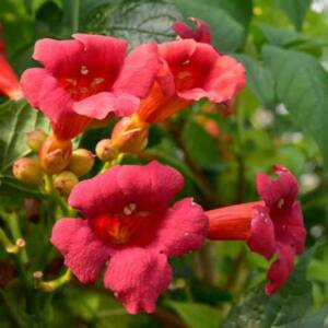 Campsis radicans 'Stromboli' – Trombitafolyondár