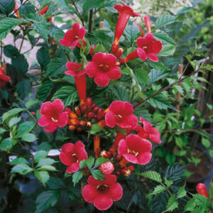 Campsis radicans 'Flamenco' - Trombitafolyondár (piros)