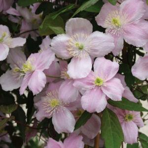 Clematis montana 'Mayleen' – Iszalag (mély rózsaszín, illatos)