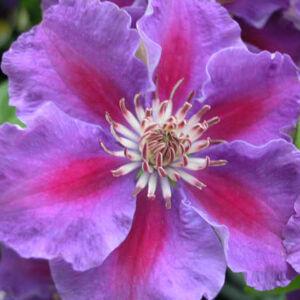 Clematis 'Ashva' - Iszalag (ibolyalila virágú, sötét rózsaszín csíkkal)