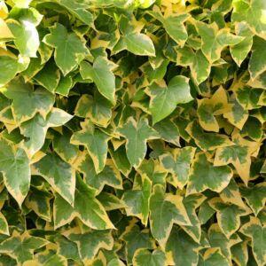 Hedera helix 'Goldchild' – Sárga-tarka levelű borostyán