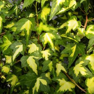Hedera helix 'Goldheart' – Sárga-tarka, apró levelű borostyán