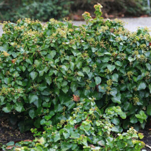 Hedera hibernica 'Arbori Compact' – Talajtakaró borostyán