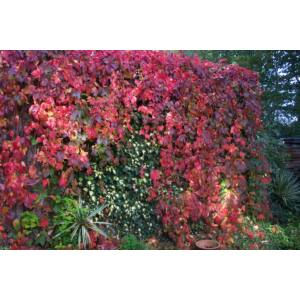 Parthenocissus quinquefolia – Kacsos vadszőlő