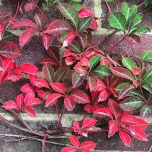 Parthenocissus henryana – Kínia vadszőlő
