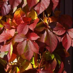 Parthenocissus quinquefolia 'Redwall' – Vadszőlő
