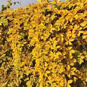 Parthenocissus quinquefolia 'Yellow Wall' – Vadszőlő