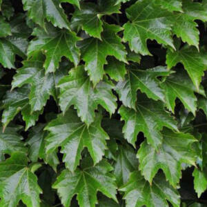 Parthenocissus tricuspidata 'Diamond Mountains' – Élénkzöld tapadókorongos vadszőlő