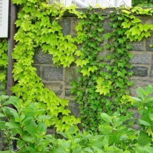 Parthenocissus tricuspidata 'Fenway Park' – Élénkzöld tapadókorongos vadszőlő