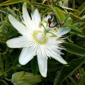 Passiflora caerulea 'Constance Elliott' – Hófehér golgotavirág