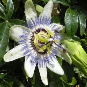 Passiflora caerulea 'Constance Elliott' – Kék golgotavirág