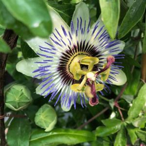 Passiflora caerulea – Kék golgotavirág