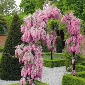 Wisteria floribunda 'Honbeni (syn. Rosea)' - Lilaakác (rózsaszín)