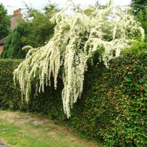 Wisteria floribunda 'Longissima Alba' – Lilaakác (fehér)
